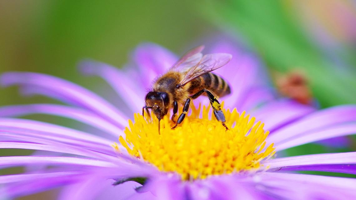 La sapienza segreta delle api: gli scritti misterici dell'autrice di Mary Poppins –  Giovanni Sessa